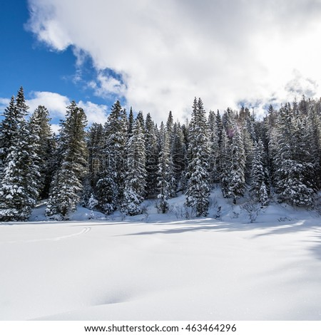 Wintertime pine forest with clearing covered by snow