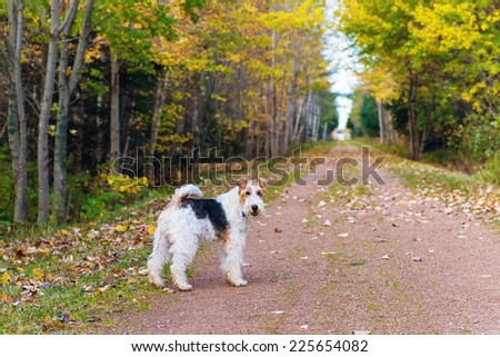 Wire fox terrier on the portion of the Trans Canada Trail in rural Prince Edward Island, known as the Confederation Trail. - stock photo