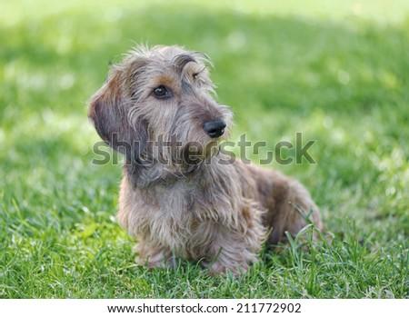 Wire-haired dachshund. - stock photo