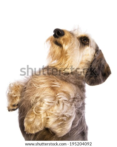 Wire haired dachshund dog begging head shot looking to the side  isolated - stock photo