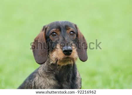 Wire-haired dachshund dog portrait in garden - stock photo