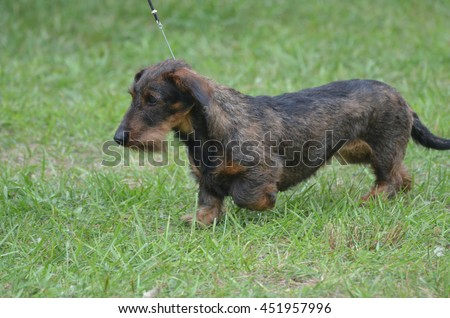 Wire haired dachshund dog walking in grass on a leash. - stock photo