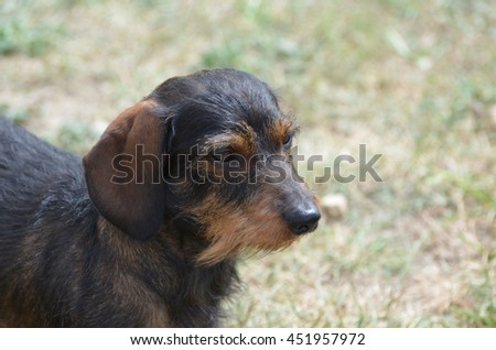 Wire haired dachshund dog with an adorable face. - stock photo