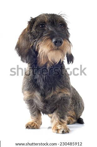 Wire-haired dachshund in front of white background - stock photo