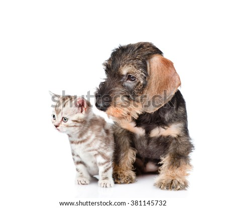 wire-haired dachshund puppy and tiny kitten sitting together. isolated on white background