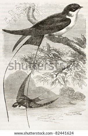 Wire-tailed Swallow old illustration (Hirundo smithii). Created by Kretschmer, published on Merveilles de la Nature, Bailliere et fils, Paris, 1878 - stock photo