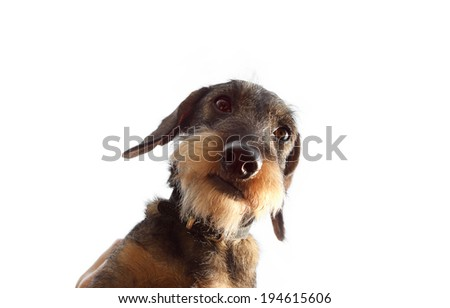 wirehaired dachshund dog on white background close up - stock photo