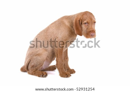 Wirehaired Vizsla (Hungarian Wirehaired Vizsla) puppy