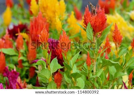 Wispy red yellow orange flowers sunlight stock photo edit now wispy red yellow and orange flowers in sunlight mightylinksfo