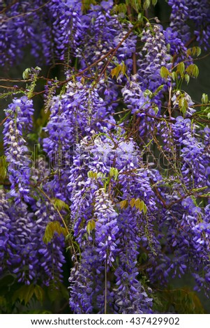 Wisteria blossom, vibrant purple flowers close up. - stock photo