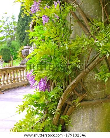 wisteria climbing up a stone pillar - stock photo