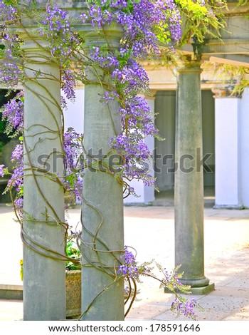 wisteria growing up stone pillars - stock photo