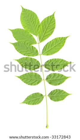 Wisteria Leaf isolated - stock photo