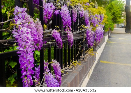 Wisteria on metal garden fence with a street view - stock photo