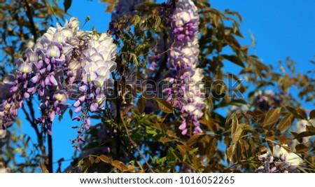 Wisteria Tree White Purple Flowers Garden Stock Photo Royalty Free