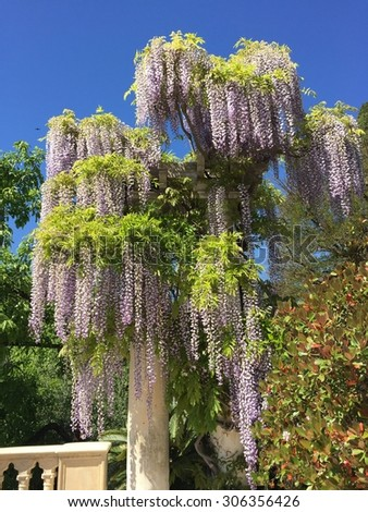 Wisteria Vine tree weeping willow with sky backdrop - stock photo