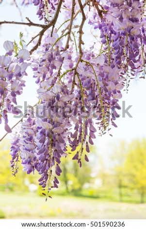 Wisteria vine with trees in the background.