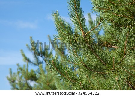 With pine branches in the sun closeup on the blurry background of blue sky - stock photo