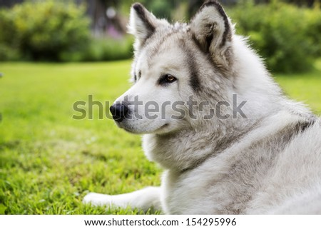 With white fur dog peacefully lay at garden - stock photo