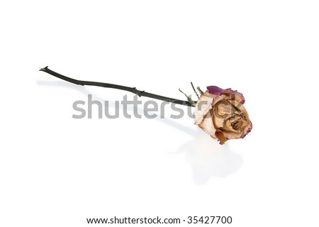 Withered and dry Rose with Reflection (Isolated)