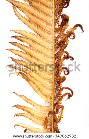 withered fern leaf on a white background