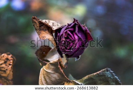 withered flowers. death, end of life, death, forgetting and remembering - stock photo