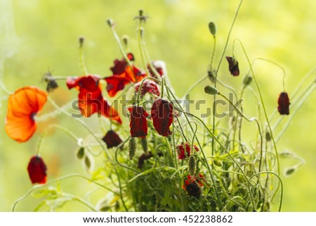 Withered poppy flowers, warm toning - stock photo