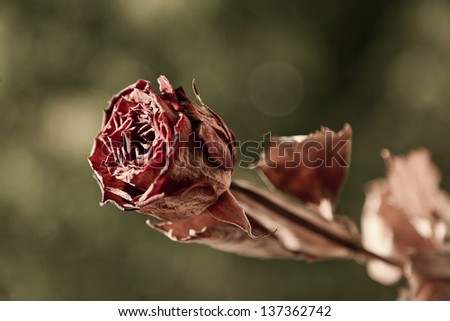 Withered red rose in a green garden faded background - stock photo