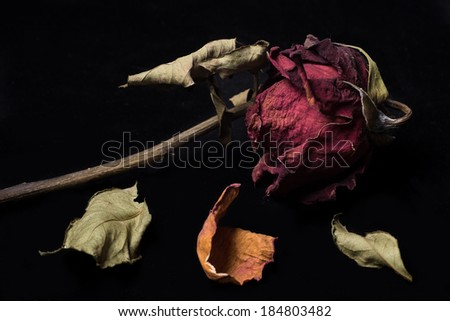 withered rose isolated on black - stock photo