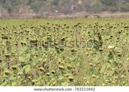Withered Sunflower Blossom Hanging Orange Golden Leaves Sad Decay Dead Flowers Wallpaper
