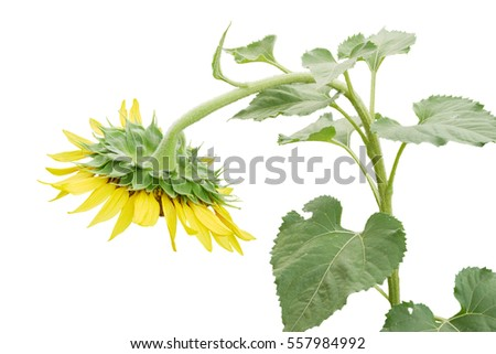 Withered sunflower on isolated background