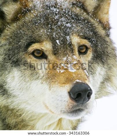 Wolf - stock photo