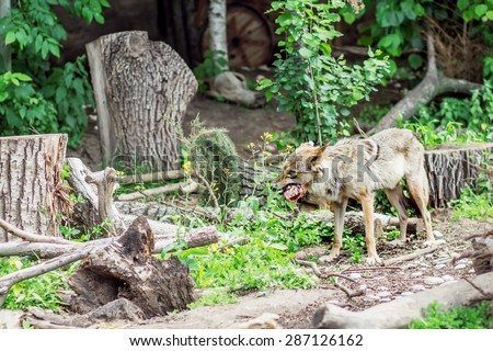 Wolf close up eating meat in Moscow Zoo, Russia - stock photo