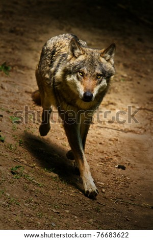 wolf coming out of darkness - stock photo