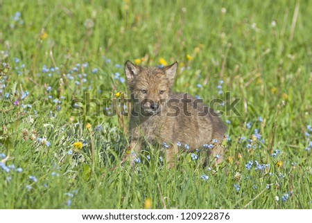 Wolf cub in spring meadow. Montana - stock photo
