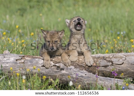 Wolf cubs photographed near their den in Montana - stock photo