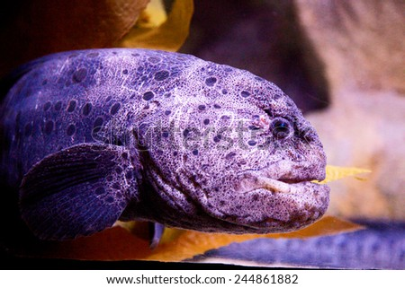 wolf-eel - stock photo