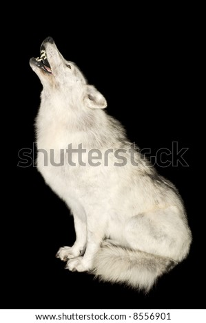 Wolf howling isolated over black - stock photo