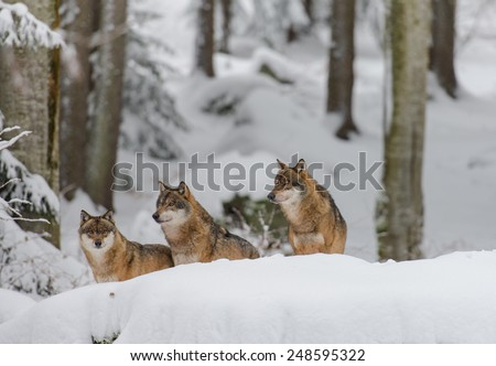 Wolf in a winterforest