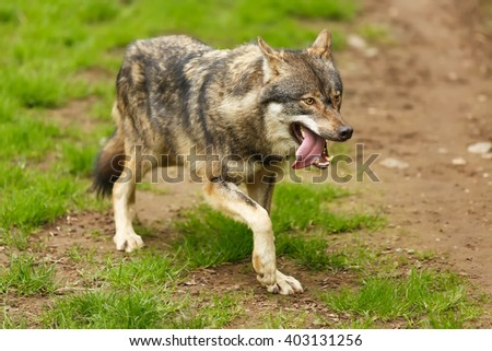 wolf in detail - stock photo