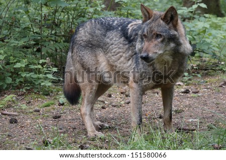 Wolf in the forest - stock photo