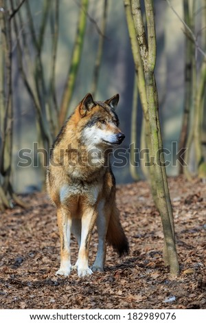 Wolf looking for prey - stock photo