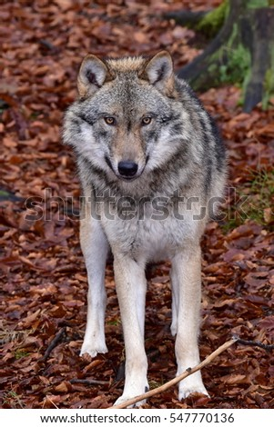 wolf on background of red leaves