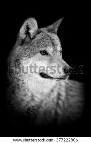 Wolf on dark background. Black and white image - stock photo