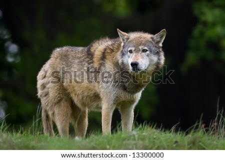 Wolf on the lookout - stock photo
