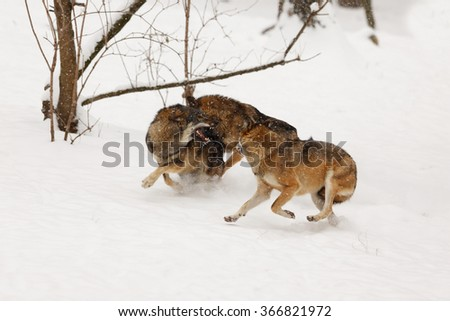 Wolf Pack are tearing each other in the snow - stock photo