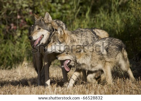 Wolf pack display - stock photo