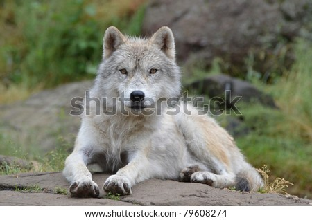 Wolf posing after a rain storm - stock photo