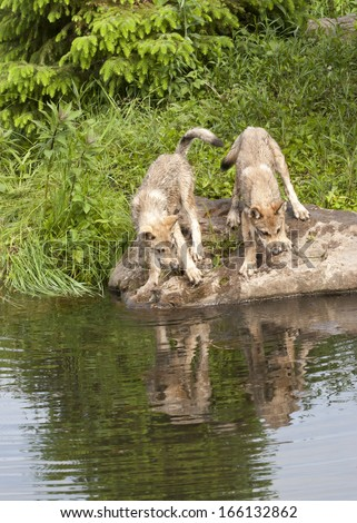 Wolf Puppies Playing by the Lake