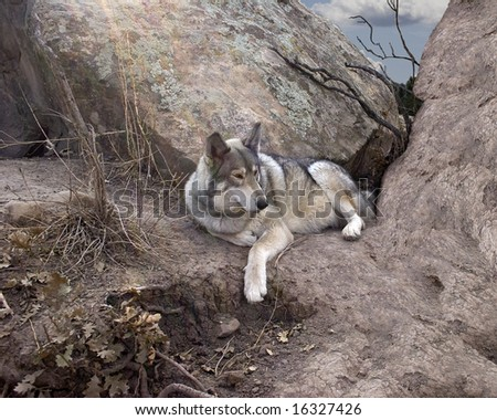 Wolf resting in it's den - stock photo